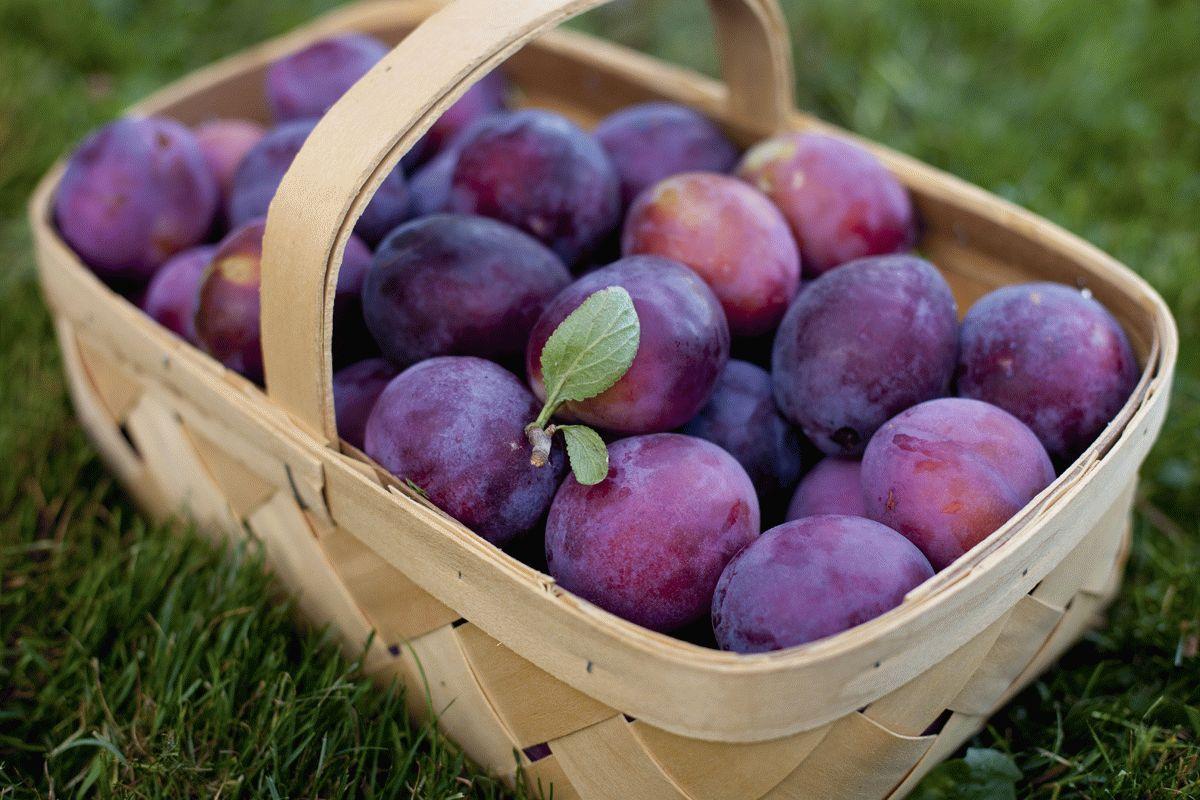 IMG_5861picking-plums