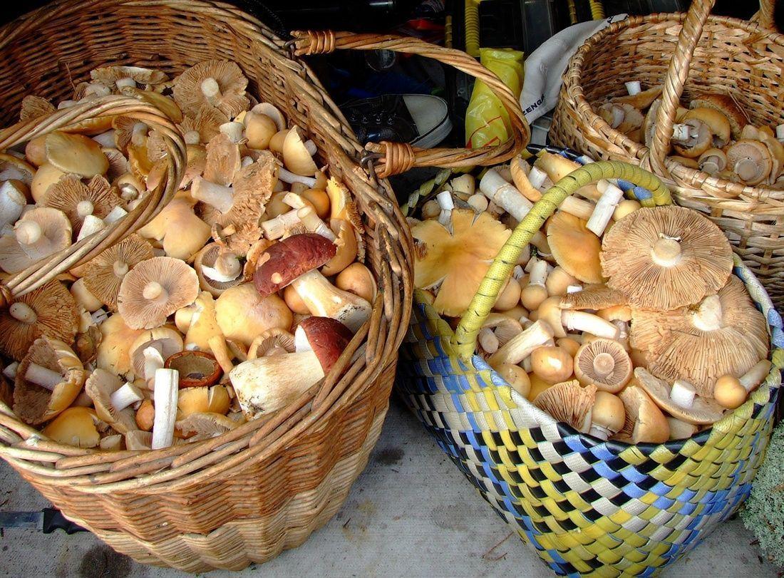 гриб колпак кольчатый рецепты приготовления