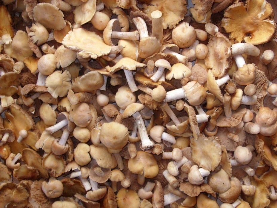 гриб колпак рецепты приготовления