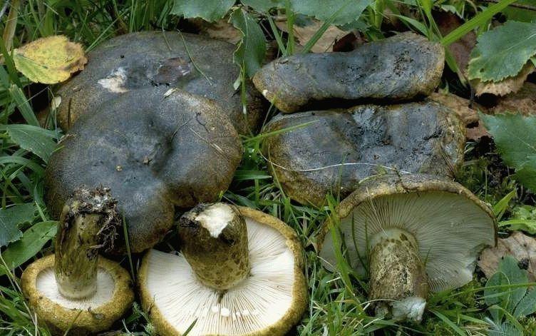 грибы черный груздь фото