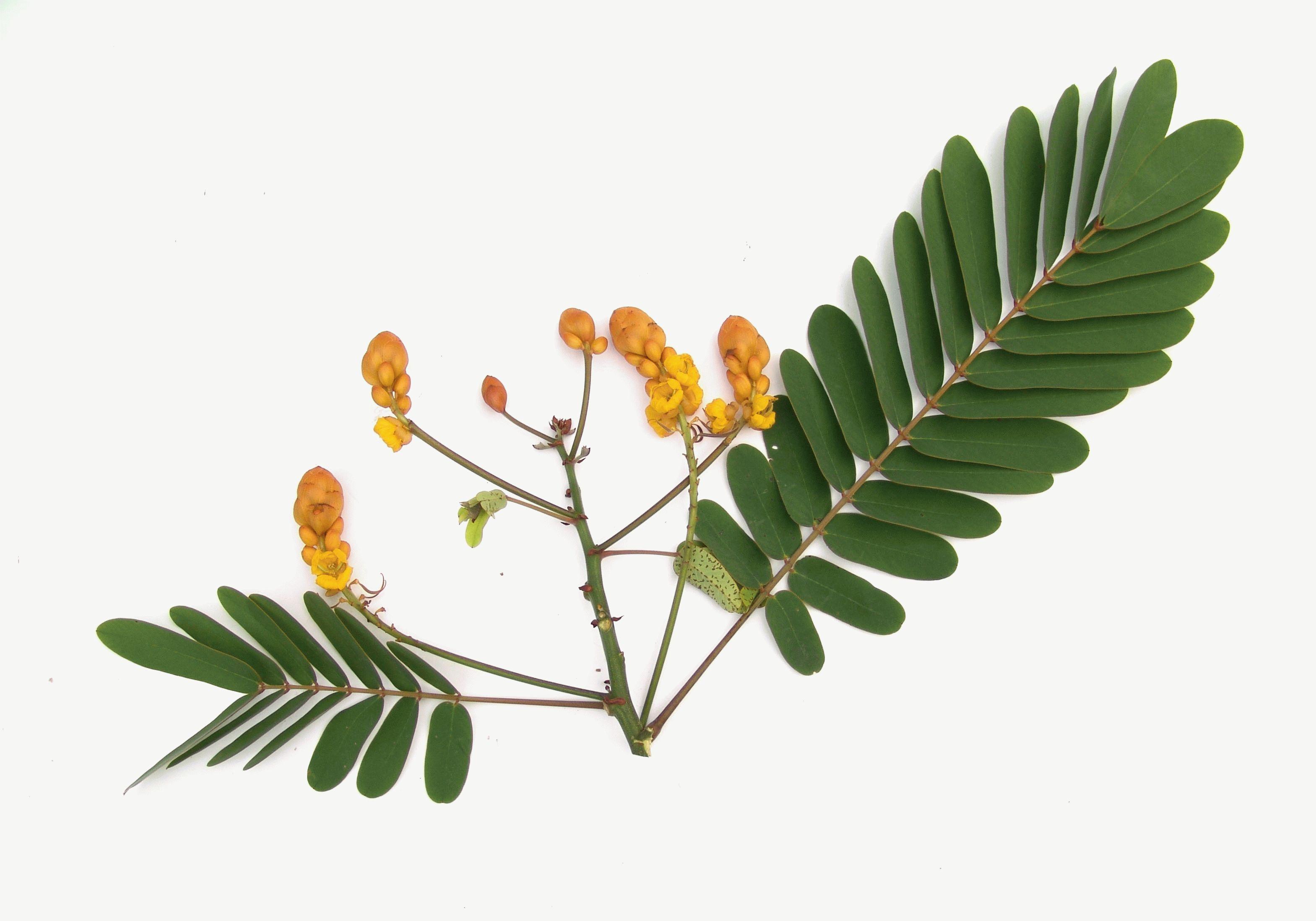 Сенны листья для похудения отзывы