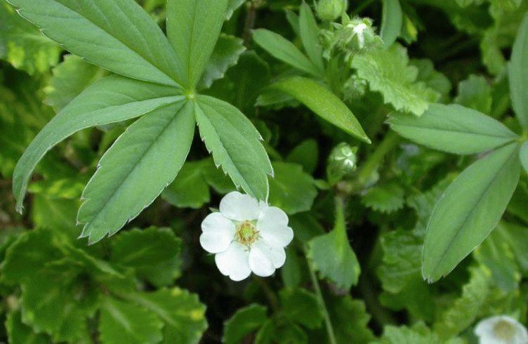 лапчатка белая весной
