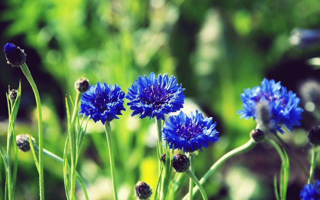 Blurry-Background-Cornflowers-Wallpaper