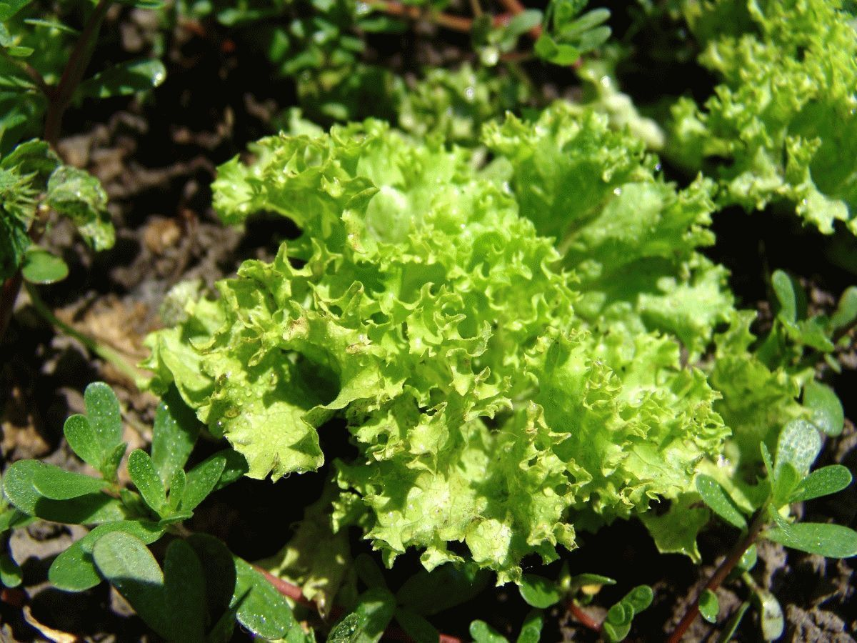 Зеленый салат польза и вред