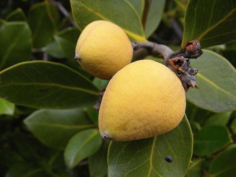800px-Mangrove_-_avicennia_marina_var_resinifera_fruit