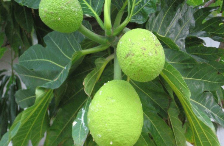 Breadfruit-1024x768