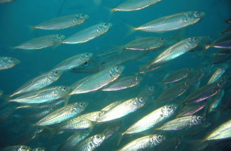 A school of Jack Mackerel (Trachurus declivis). Fairy Bower, Manly, NSW