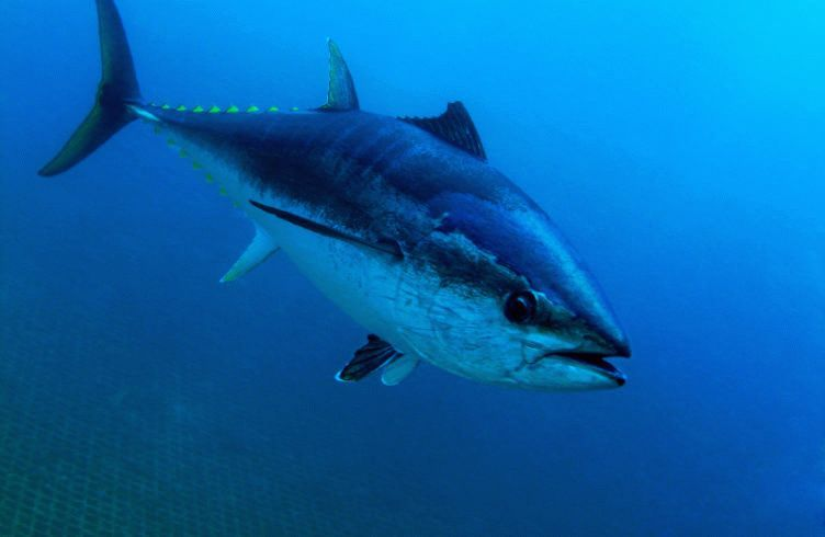 Tuna_fish_and_digital_pathology