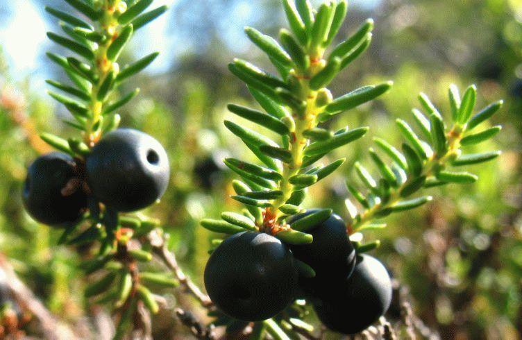 Ягода водяника черная - полезные свойства, рецепты и противопоказания