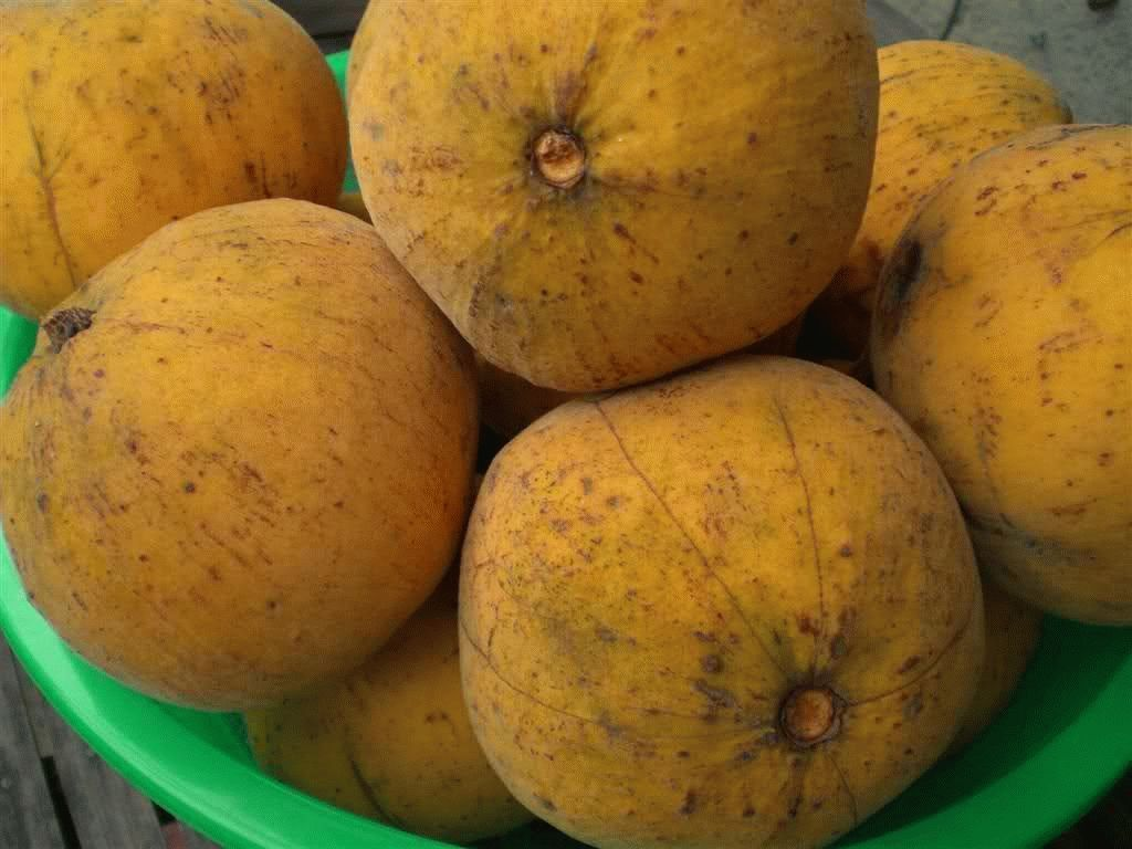 santol fruit essay Organic research and extension projects topics  beef cattle berries and small fruit cereals dairy ecological landscapes and turf economics field crops forages goats honey bee horses insects integrated pest management nursery and greenhouse oilseeds poultry rabbits seed crops sheep soil science swine tree fruit and nuts vegetable cropping.